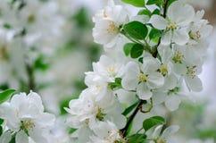 Цветения яблони Стоковое фото RF