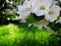 Цветения Яблока Стоковое Изображение RF