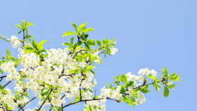 Цветения Яблока и голубое небо Стоковое Изображение