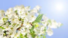 Цветения Яблока и голубое небо Стоковые Фотографии RF