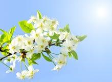 Цветения Яблока и голубое небо Стоковая Фотография RF