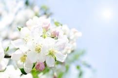 Цветения Яблока и голубое небо Стоковые Изображения