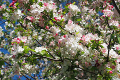Цветения Яблока краба Стоковые Изображения