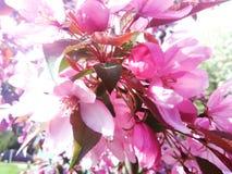 Цветения Яблока краба Стоковые Фотографии RF