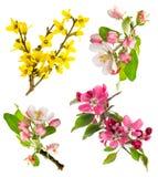 Цветения яблони, хворостины вишни, forsythia Стоковая Фотография RF