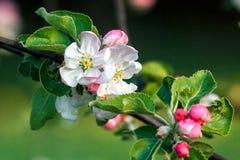 Цветения яблони Стоковые Фотографии RF