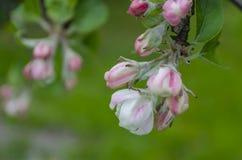 Цветения яблони just rained Стоковая Фотография
