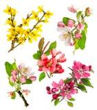 Цветения яблоня крупного плана, хворостина вишни, forsythia Стоковая Фотография