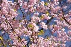 Цветения японской сливы и предпосылка голубого неба Стоковая Фотография RF
