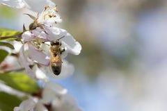 Цветения crabapple пчелы опыляя, взгляд сверху Стоковые Фото