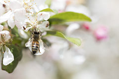 Цветения crabapple пчелы опыляя, взгляд сверху Стоковые Изображения RF