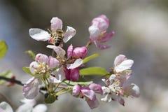 Цветения crabapple пчелы опыляя, взгляд сверху Стоковая Фотография RF