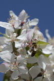 Цветения crabapple пчелы опыляя, взгляд сверху Стоковая Фотография