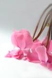 цветения cyclamen стоковые фотографии rf