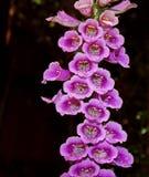 Цветения Foxglove закрывают вверх стоковое изображение