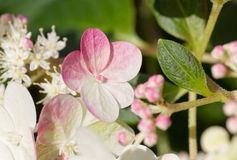 Цветения fraise sundae гортензии Стоковые Фотографии RF