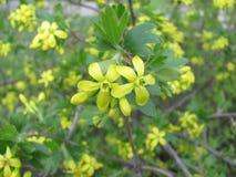 Цветения nigrum Blackcurrant или смородины Стоковое Фото