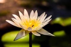 Цветень обнюхивать пчелы белого лотоса, красивой предпосылки природы стоковая фотография rf