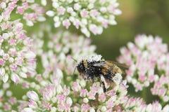 Цветень покрыл пчелу на головке цветка Sedum Стоковые Изображения