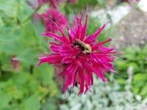 Цветень пчел-бальзама шмеля стоковые фото