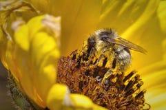 Цветень пчелы меда Стоковые Изображения