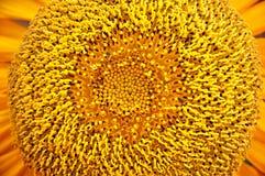 Цветень солнцецвета Стоковые Изображения RF