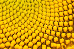 Цветень солнцецвета стоковое фото rf