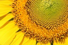 Цветень солнцецвета крупного плана желтый Стоковые Фотографии RF