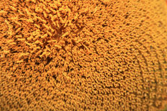 Цветень солнцецвета на тычинках для конца предпосылки вверх Стоковые Фото