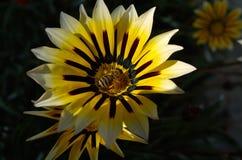 цветень Стоковые Изображения
