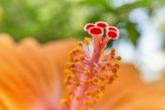 Цветень bokeh sinensis rosa гибискуса нерезкости листьев стоковое фото