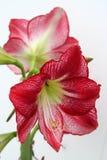 Цветеня амарулиса фламенко на высокорослом черенок стоковая фотография