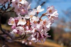 Цветеня вишни Стоковое Фото