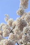 Цветеня вишни Стоковые Изображения