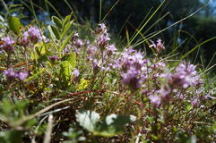 Цветеня в мхе стоковое фото rf