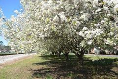 Цветеня груши в Северной Каролине стоковые фотографии rf