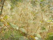 Цветеня дерева дыма Стоковое Изображение RF