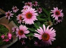 Цветеня лета Стоковая Фотография RF