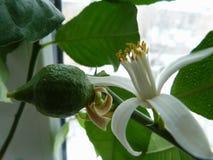 Цветеня лимона стоковая фотография rf
