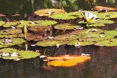 Цветеня лилии белой воды среди Lilypads северного пруда Georgia Стоковая Фотография