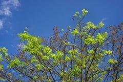 Цветеня каштана в осени Стоковые Изображения RF