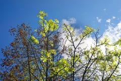 Цветеня каштана в осени Стоковое Изображение
