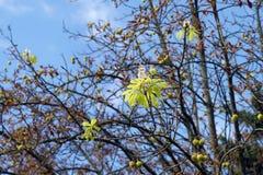 Цветеня каштана в осени Стоковое Фото