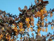 Цветеня кустарника барбариса с желтыми цветками стоковая фотография rf