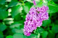 Цветеня куста сирени сада весной Конец-вверх, селективный фокус стоковые фото