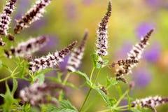 Цветеня мяты Стоковые Фото