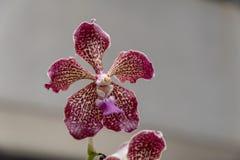 Цветеня орхидеи стоковое фото