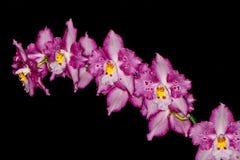 Цветеня орхидеи Стоковые Фото