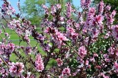 Цветеня персика патио Стоковые Фото