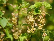 Цветеня/цветения от красной смородины на кусте Стоковое Изображение